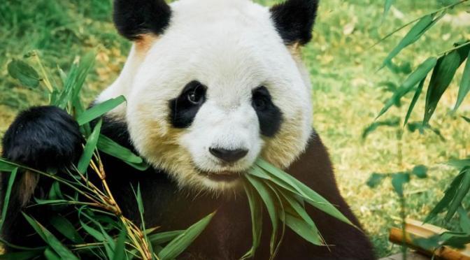 Urșii Panda – acum 5000 de ani erau carnivori