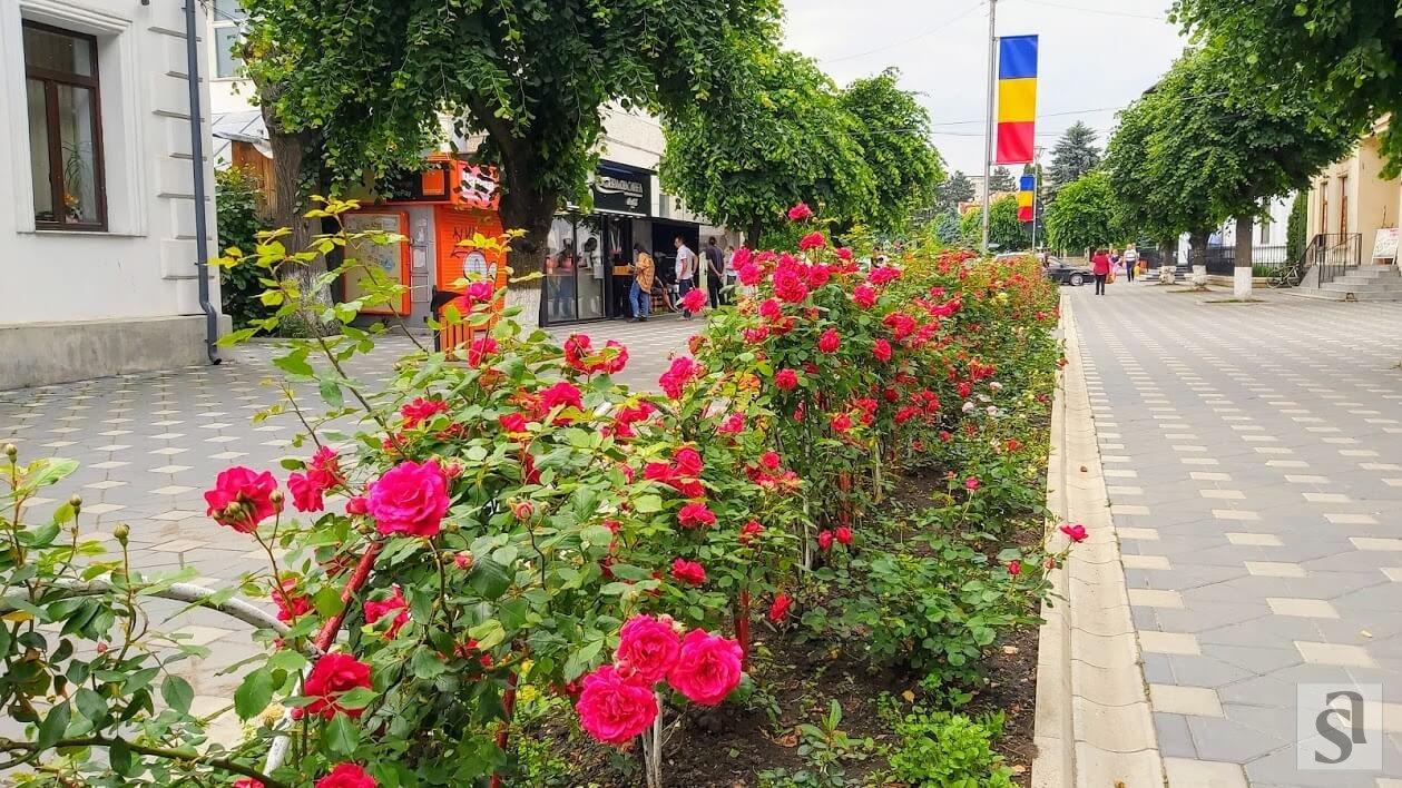 au înfloit trandafirii (1)